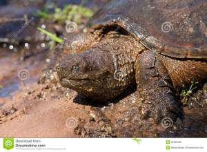 american-alligator-snapping-turtle-mud-resting-38495338